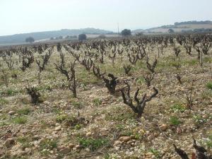 The Wine Society vines
